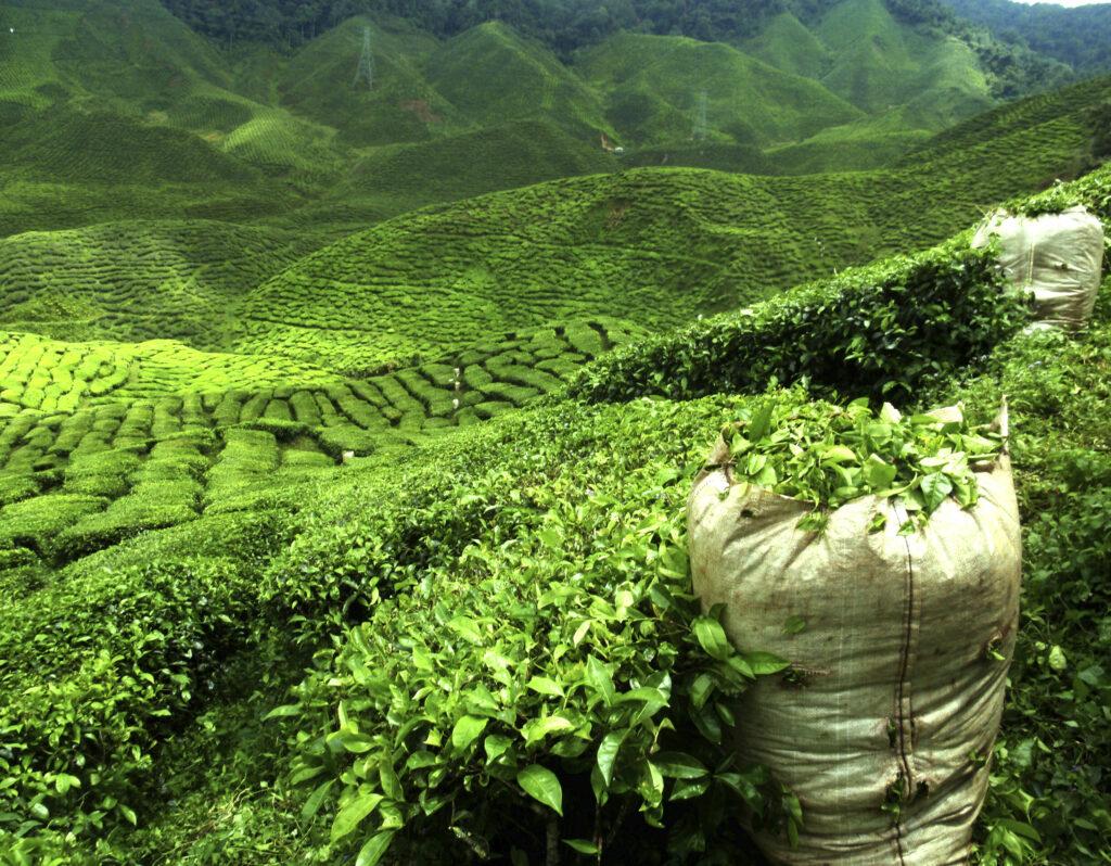 Chikmagalur tourism waterfalls trekking india tea estate